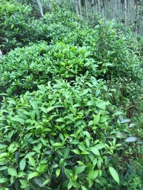茂盛的茶樹冠02
